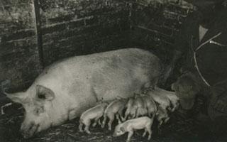 Il porcile e l'allevamento dei maiali