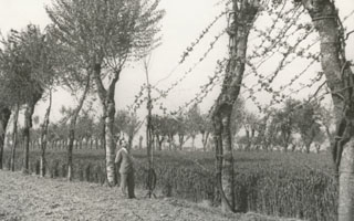 Rows of trees and grapevines