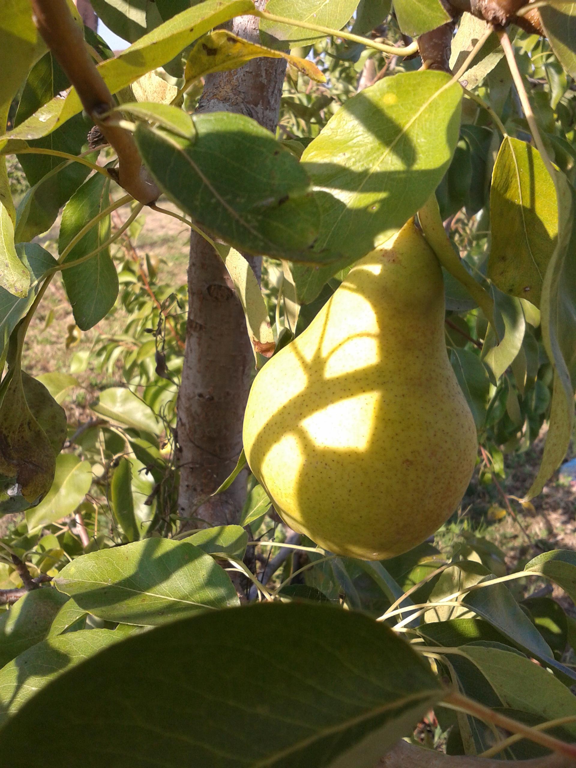 I frutti del pomario