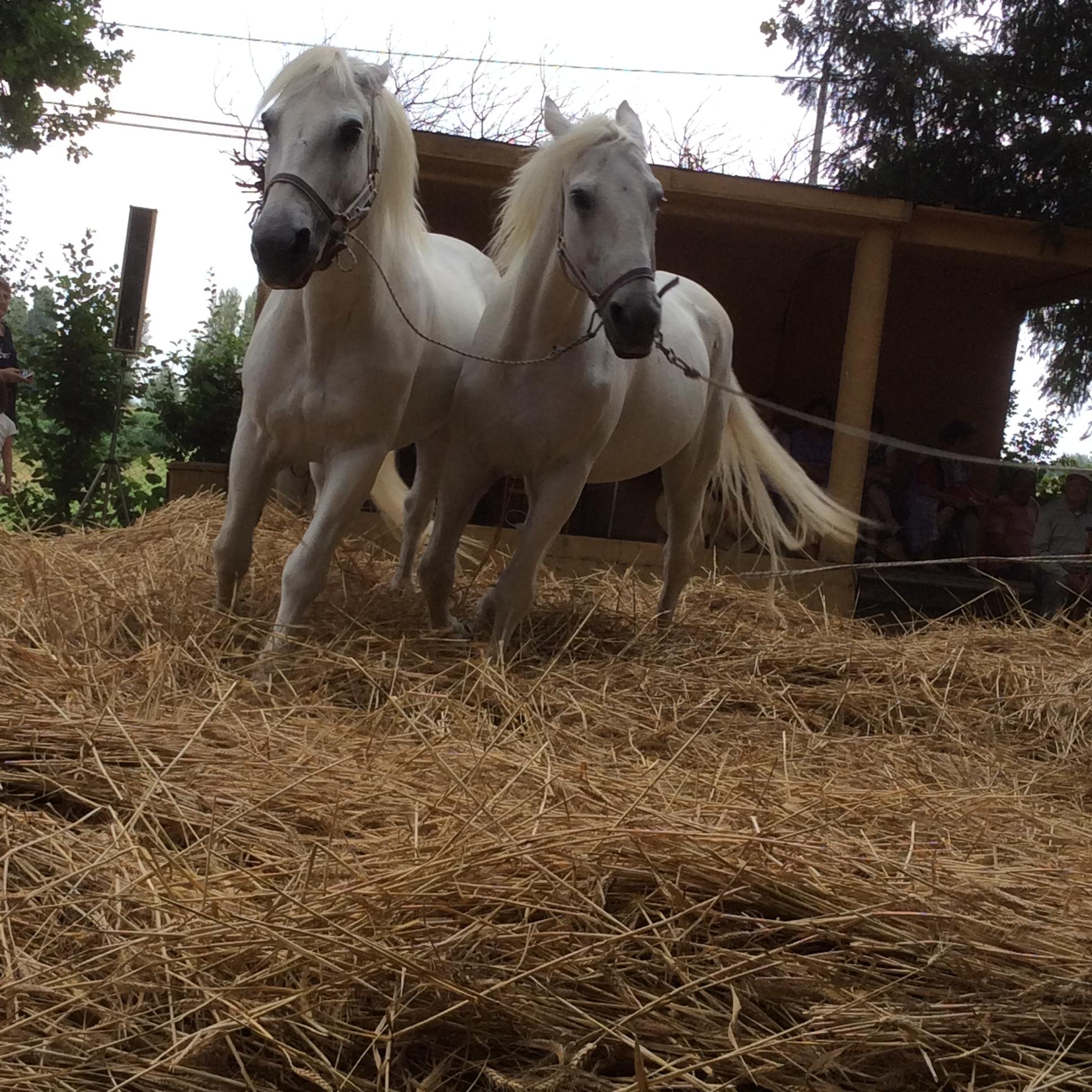 Trebbiatura con i cavalli